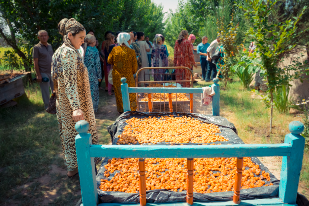 Apricots drying for market in Tajikistan